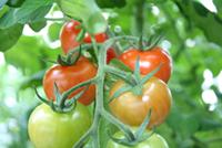 Tomater på en kvist.